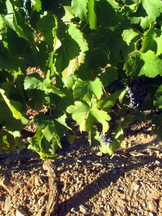 12 nomi curiosi e insoliti di uva e di vino